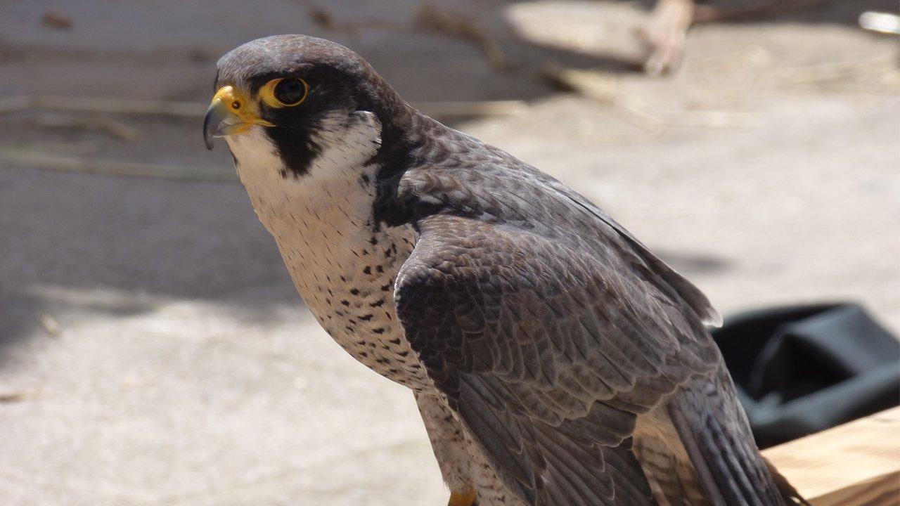 fauna-berignone-falco_pellegrino