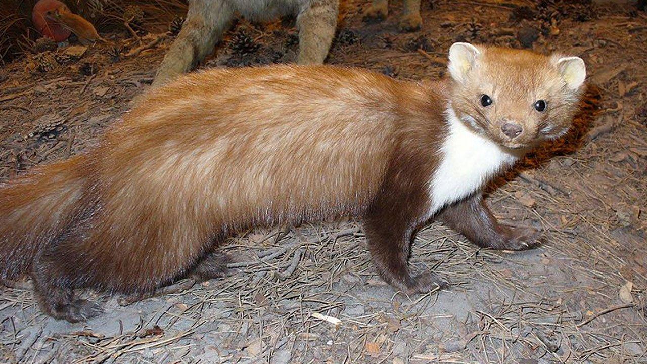 fauna-montenero-faina