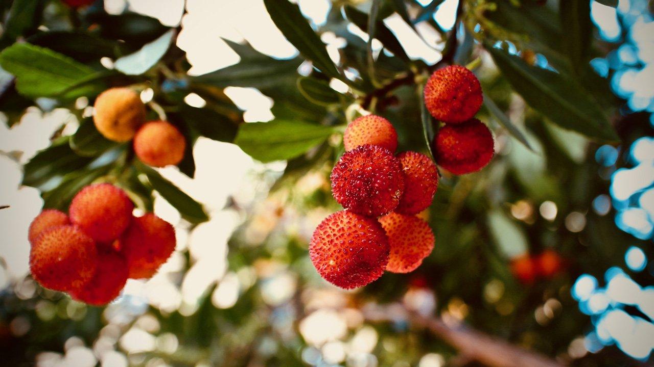 flora-berignone-corbezzolo