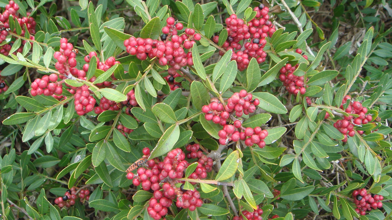 flora-berignone-lentiscus