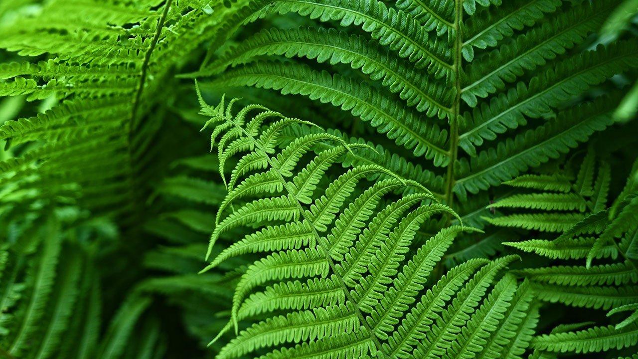 flora-montenero-felce