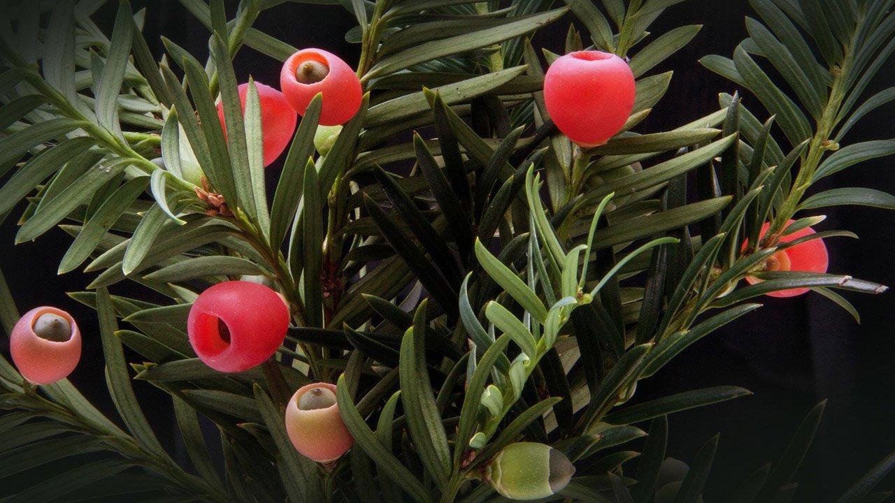 flora-monterufoli-tasso