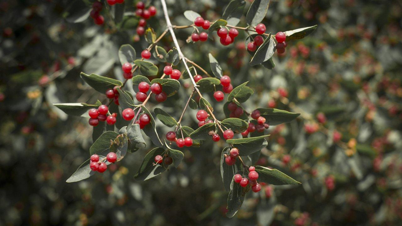 flora-monterufoli-viburno