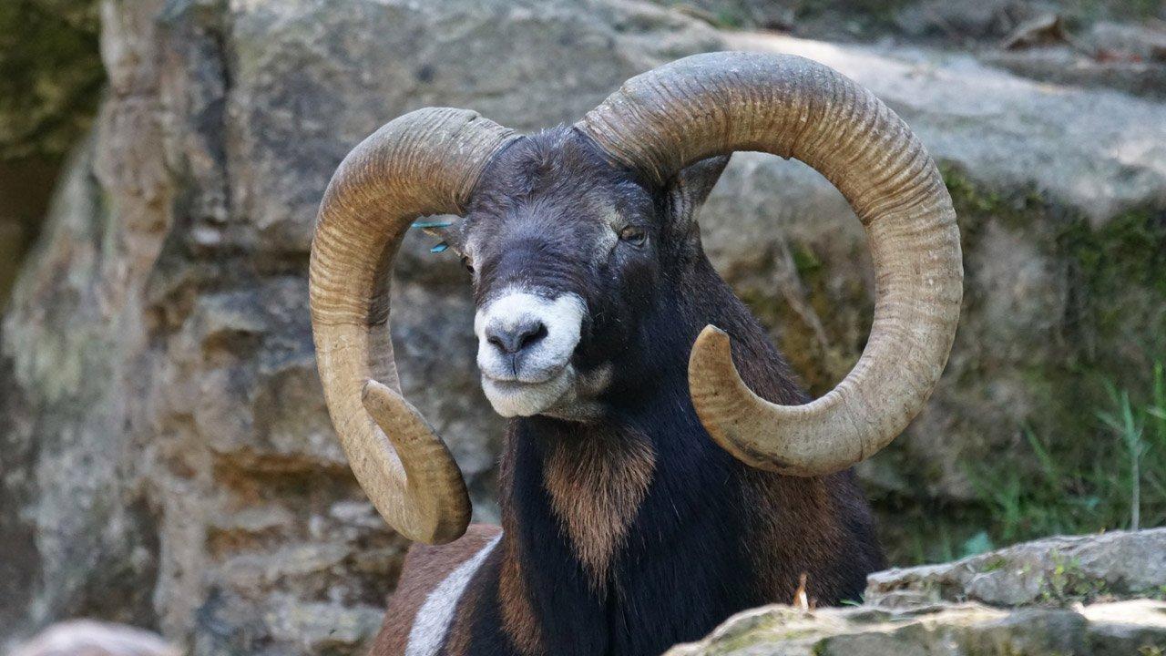 galleria-fauna-muflone